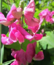 ♫ POIS de SENTEUR 'Pink Lady' -Lathyrus odoratus ♫ Graines ♫ Ornement Grimpant ♫