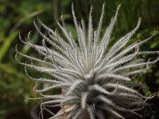 Air plants Tillandsia | Tectorum | Fuzzy