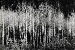 1937 Vintage ANSEL ADAMS Aspens Trees Forest Landscape Photo Gravure Art 11x14