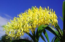 Dendrobium speciosum Golden Arches x Goldimoon Chunky 125mm 3 years old  orchid