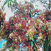 ROSE CASSIA SEEDS CASSIA MARGINATA FLOWERING TREE 10 SEED PACK