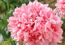 PAEONY POPPY * BOMBAST Rose *   Blooms!   Easy!      50 SEEDS