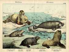 1886 SCHUBERT CHROMOLITHOGRAPH manatee, seal, walrus, sea lion, sea bear