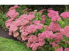 7 drought hardy 'Autumn Joy' Sedum spectabile ICE PLANT succulent  flower garden