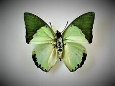 Lot of 2 Green Leaf Mimic Butterfly Charaxes eupale eupale Male Folded Fast Usa