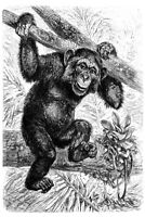 Common Chimpanzee Black and White B&W Illustration Art Print Poster 12x18 inch