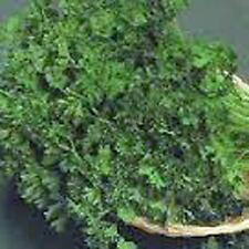 PARSLEY SEED,FOREST GREEN , HEIRLOOM, ORGANIC, NON GMO, 50+ SEEDS,PARSLEY SEEDS
