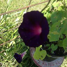 Japanese Morning Glory-Blackish Purple Blooms-10 seeds-2016