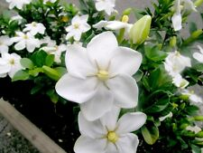 Gardenia Thunbergia - Forest Wild Gardenia - Rare Tropical Plant Seeds (5)