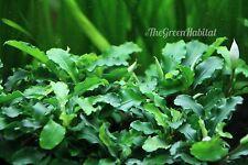 Bucephalandra Green Wavy - RARE Live Freshwater Plants Java Moss Anubias Fern