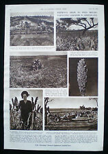 SORGHUM PEAK DOWNS BRITISH FOOD CORPORATION ANNABELLE RANKIN QUEENSLAND 1949