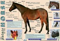 The Horse Poster   / Educational/ Equine / Learning/