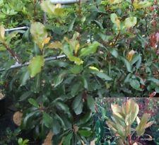 Photinia serratifolia - Chinesische Glanzmispel - Sägeblättrige Glanzmispel -