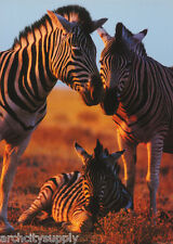 Poster : Animals ; Zebra Family With Baby - Free Shipping ! #Pp0757 Rw2 A