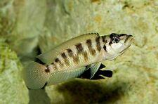 6 (six) x Neolamprologus fasciatus (Lake Tanganyika Cichlid)