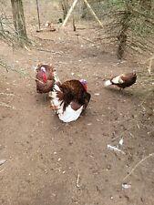 5 Blue Slate 5 Bourbon Red Turkey Hatching Eggs