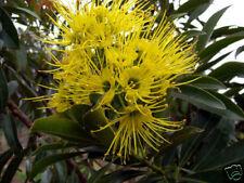 Golden Penda Seed Rare In The Wild Evergreen Small Tree