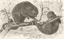 PORCUPINES. Brazilian tree-porcupine. Brazil 1894 old antique print picture