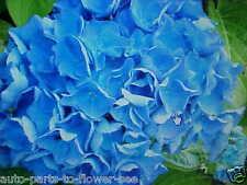 LARGE COLOR BLUEBERRY BLUE TREE PEONY FLOWER SEEDS  a  U.S.A. TEXAS SHIPPED item