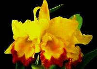 Lc Gold Digger x Epi rufum Live Orchid Plant Fragrant Compact Cattleya Epi Mix