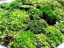 LARGE PACK LIVE TERRARIUM SHEET MOSS Vivarium Bonsai Feather Woodland Rainforest