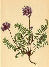 ALPENFLORA ALPINE FLOWERS: Oxytropis Montana (L. ) DC-Berg-Spitzkiel;1897