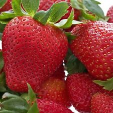 30 Honeoye Strawberry Plants- SOLD OUT / PRE-ORDER for SPRING 2018 ONLY