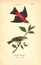 Rare 1888 Antique Audubon Bird Print ~ Scarlet Tanager ~ Excellent Details!