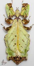 Phyllium giganteum No.2, ACTUAL SPECIMEN, MOUNTED,  Leaf mimicry
