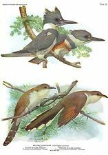 """1936 Vintage FUERTES BIRDS #58 CUCKOO BIRDS, KINGFISHER"""" Color Plate Lithograph"""