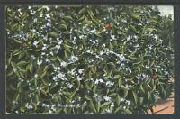 1910s ORANGE BLOSSOMS (CALIFORNIA) POSTCARD