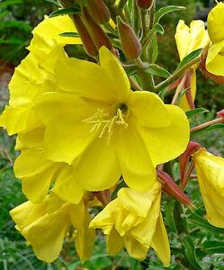 1000 Oenothera YELLOW EVENING PRIMROSE Flower Seeds