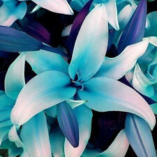50X Blue Heart Lily Flower Seed Potted Bonsai Lilium Plant Perfume Seeds New