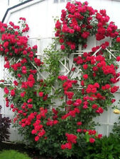 5 RED CLIMBING ROSE Rosa Bush Vine Climber Fragrant Butterfly Flower Seeds +Gift