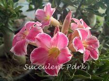 """Adenium Obesum (Desert Rose)  """"KITTY"""" Grafted Plant"""