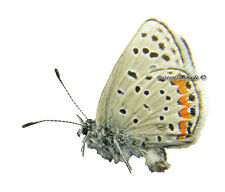 Unmounted Butterfly/Lycaenidae - Plebejus (Aricia) acmon ssp., male, USA, A1/A-