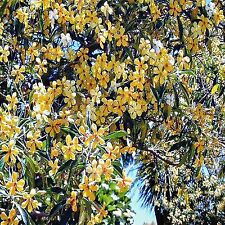 NATIVE FRANGIPANI SEEDS HYMENOSPORUM FLAVUM FLOWERING TREE 20 SEED PACK