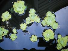 Water Lettuce Shipped out-of-container