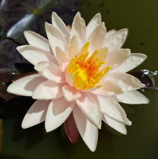 Water Lily Plant Nymphaea 'Starbright' Temperate Hardy variety