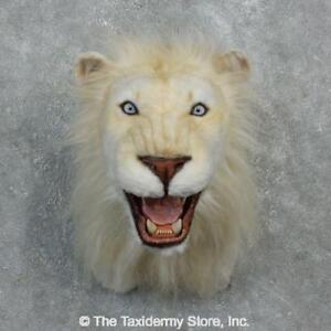 #18295 E+   Reproduction African Lion Shoulder Taxidermy Head Mount - Faux Safar