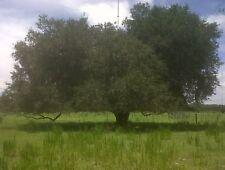Live Oak Tree 4 inch pot