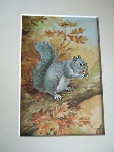 Vintage 1960 Ladybird Book British Wild Animals Print in Mount Grey Squirrel