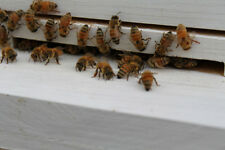 ⭐️⭐️⭐️⭐️⭐️ 10 REAL Honey Bees  **DRIED **   SPECIMEN INSECT TAXIDERMY !!