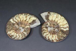 2x Versteinerung Fossil Ammonit (DK366)