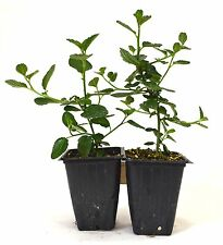 "Ceanothus Griseus Horizontalis ""Yankee Point"" Plants - 2 pack Fresh Mature Shrub"