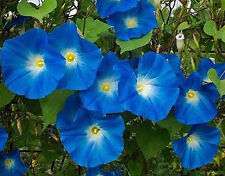 Morning Glory Seeds Heavenly Blue, Heirloom Flower, Climbing Vine, Non-Gmo 75 Ct