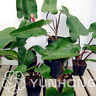 100 PCS Seeds Philodendron Erubescens Bonsai 10 Kinds Multi-Colors Plants Garden