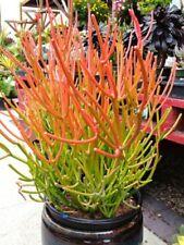 5 CUTTINGS Firesticks Fire Stick Succulent Euphorbia Tirucalli Fire Sticks Plant