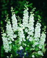 Seeds Delphinium White Giant Flower Annual Outdoor Garden Cut Organic Ukraine