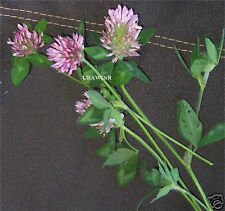 RED CLOVER SEED 5 LBS Deer Plot Seeds Turkey Pasture Ground Cover